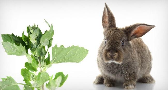 Можно ли давать лебеду крольчатам и взрослым кроликам: как и в каких количествах - гид по огороду