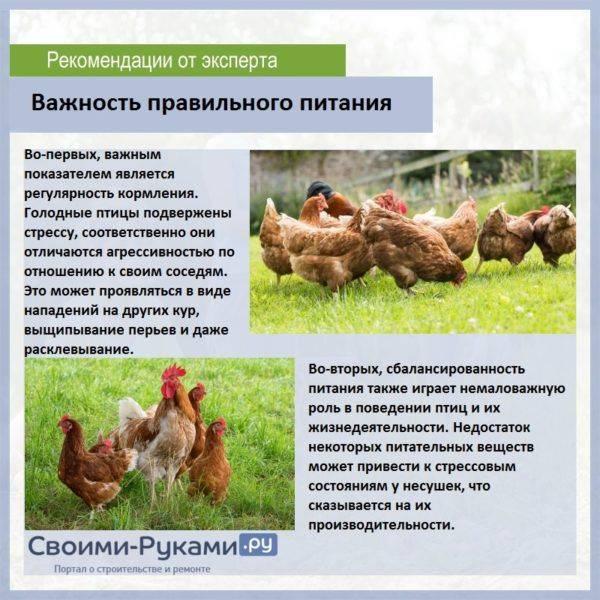 Чем и как кормить цыплят несушек в домашних условиях: советы, фото и видео