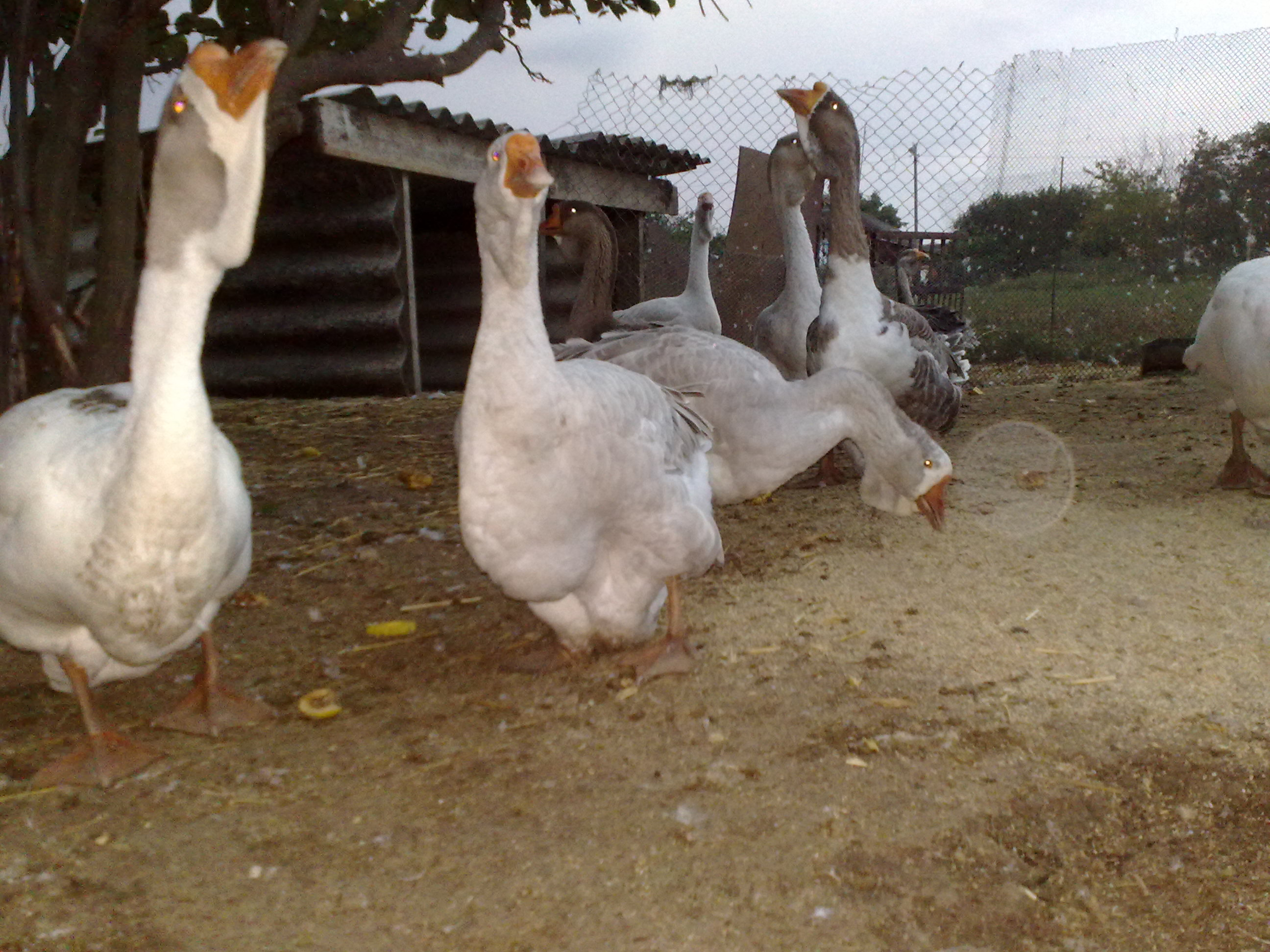 Холмогорские гуси: характер породы, содержание в домашних условиях
