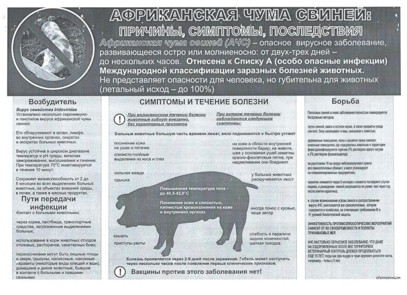 Африканская чума: чем опасна для человека съевшего мясо, признаки