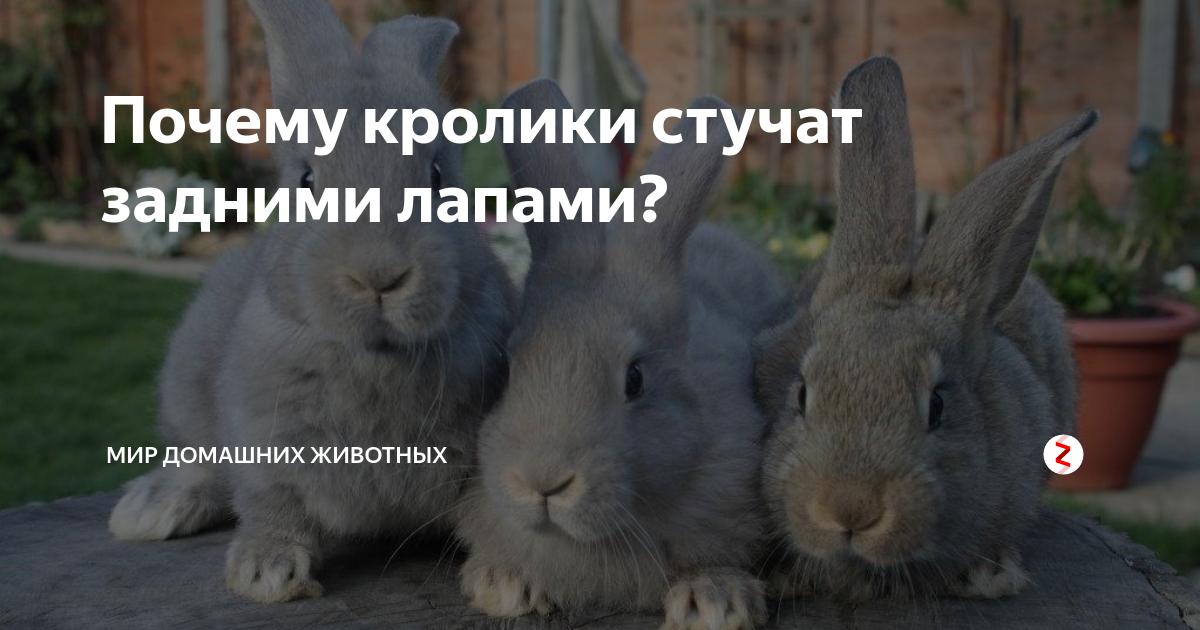 Почему крольчиха стучит задними лапами