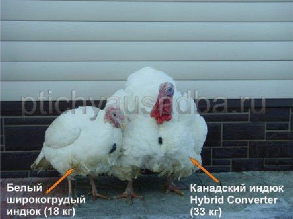 Индюки хайбрид конвертер: характеристика, описание породы, таблица веса, фото, отзывы, содержание в домашних условиях