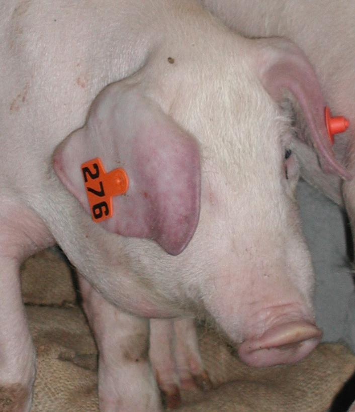 ✅ о признаках африканской чумы у свиней: описание симптомов, как передается - tehnomir32.ru