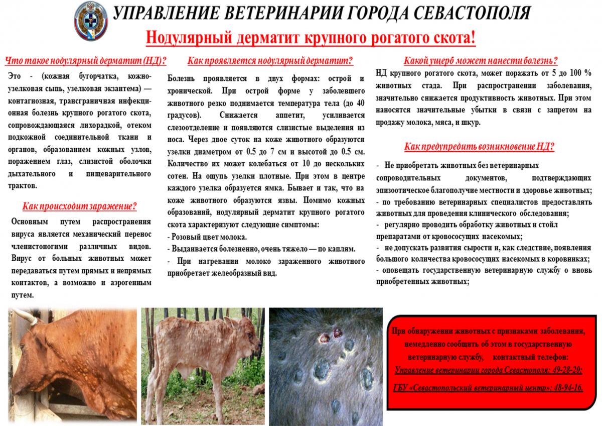 Лептоспироз животных — симптомы и методы лечения крс, коз, овец, вакцина и инструкциялептоспироз у животных: возбудитель, симптомы, лечение и профилактика