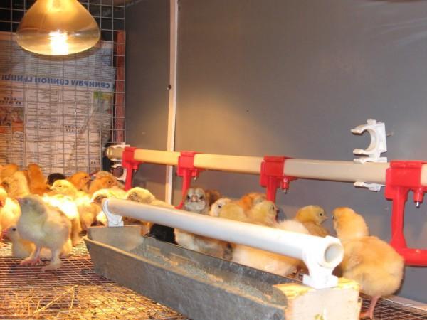 Поилка для цыплят своими руками: пошаговая инструкция, фото и видео