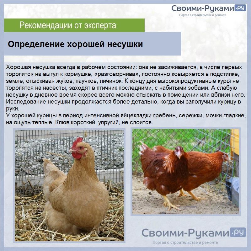 Мясные породы кур (24 фото): названия пород с описанием. какие куры быстро растут? самые лучшие породы для домашнего разведения