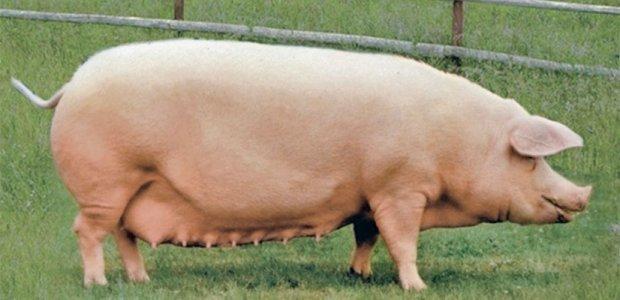 Ландрас порода свиней характеристика взрослых свиней и поросят