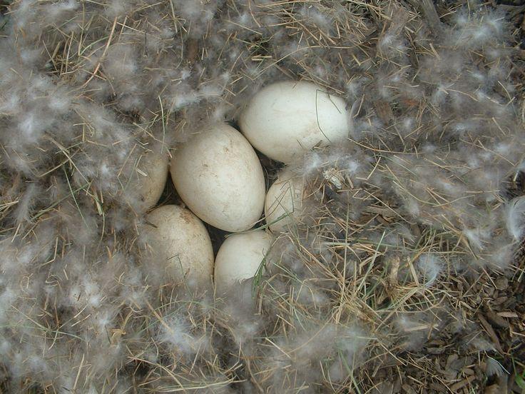 В каком возрасте гуси начинают нести яйца: как часто несутся в домашних условиях