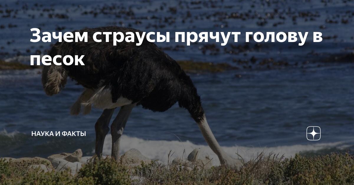 Почему страус прячет голову в песок: мифы и реальная причина