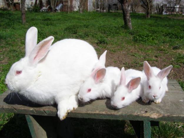 Кролик белый великан: описание породы, отзывы, фото