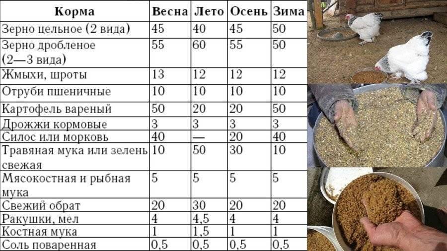 Чем кормить кур несушек можно, а чем нельзя. рацион зимой и летом.