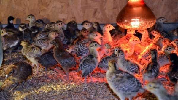 Разведение фазанов на мясо: как ухаживать и чем кормить