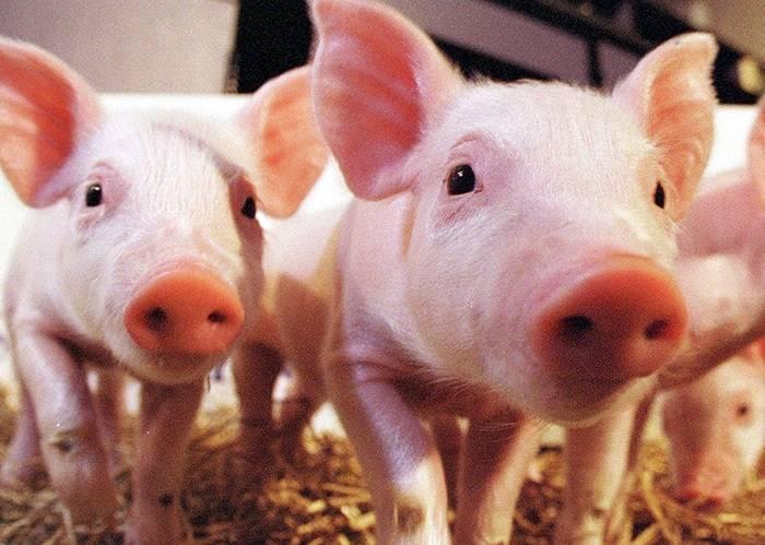 Поросенок не ест: что делать, если маленькое или большое животное отказывается есть и лежит, причины и как приучить самостоятельно к этому