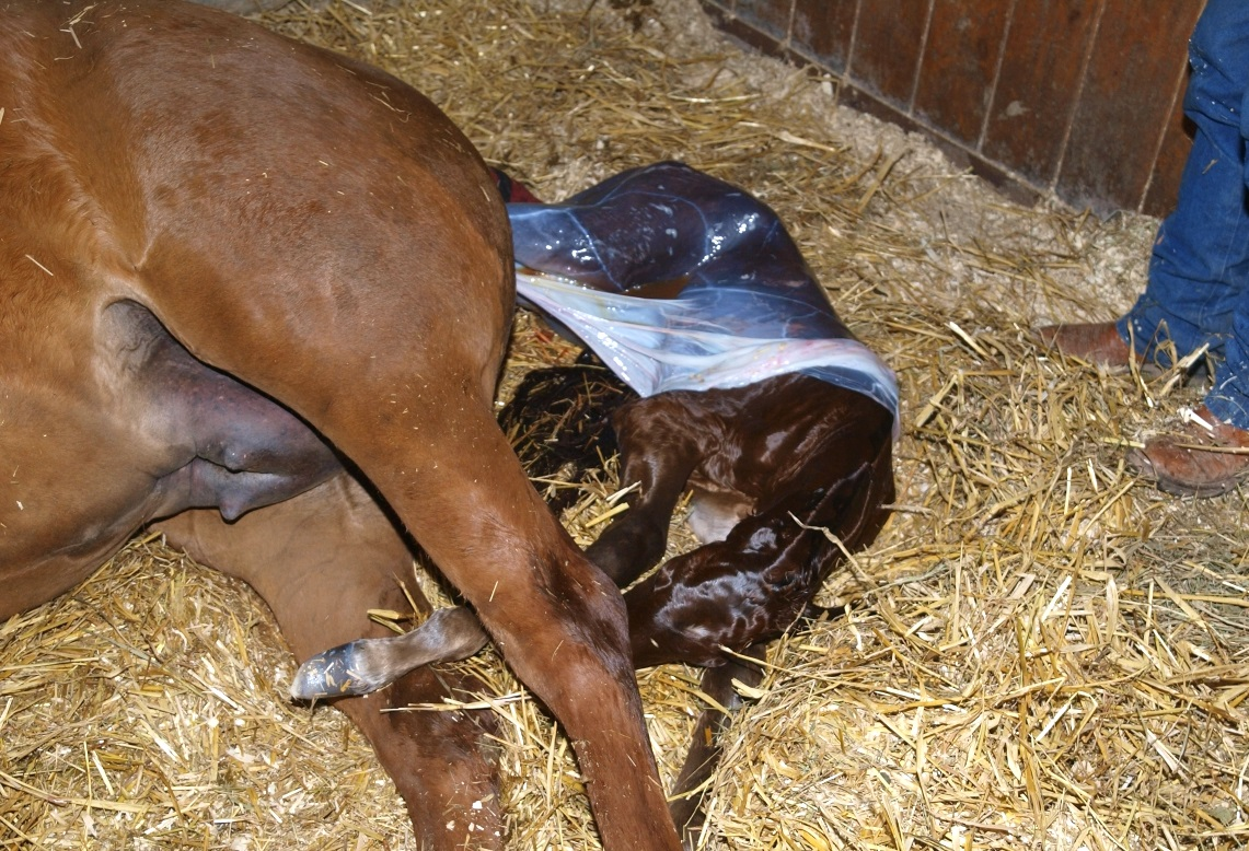 Сколько ходит беременная лошадь? 26 фото сколько месяцев длится беременность? как определить срок беременности? как ухаживать за кобылой во время вынашивания жеребенка?