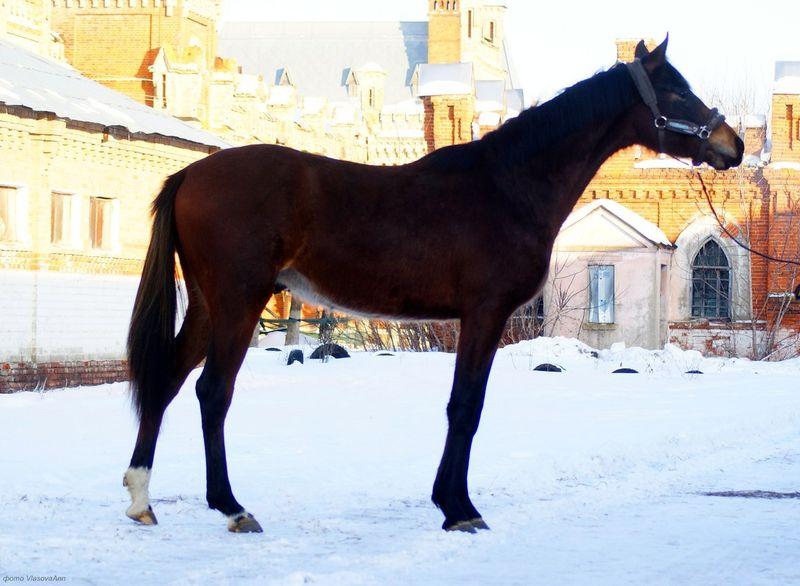 Русская верховая порода лошадей: описание и особенности содержания