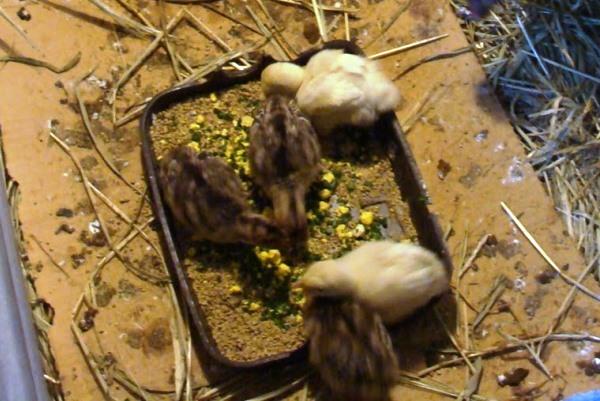 Что едят индюки? чем их кормят в домашних условиях? кормление для быстрого роста, откорм на мясо и уход для начинающих, корм purina для разведения индеек