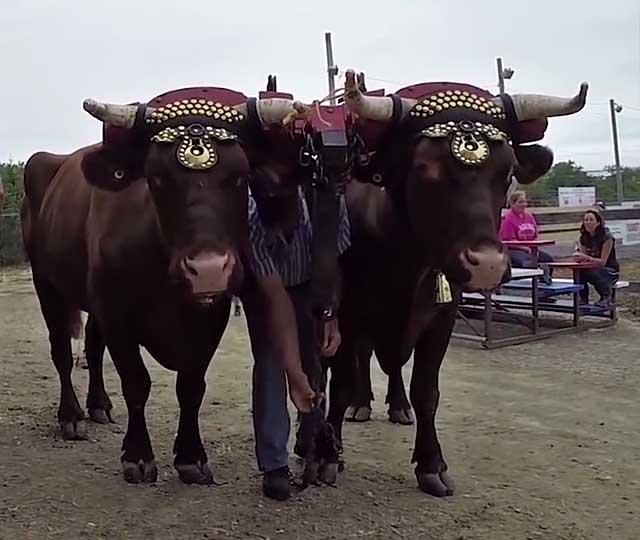 Зачем и как кастрируют быков