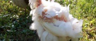 Почему гусята выщипывают пух друг у друга