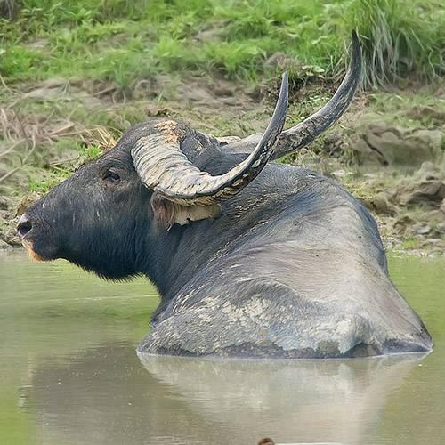 ✅ все об индийском (азиатском, водяном) буйволе арни: подробная информация - tehnomir32.ru