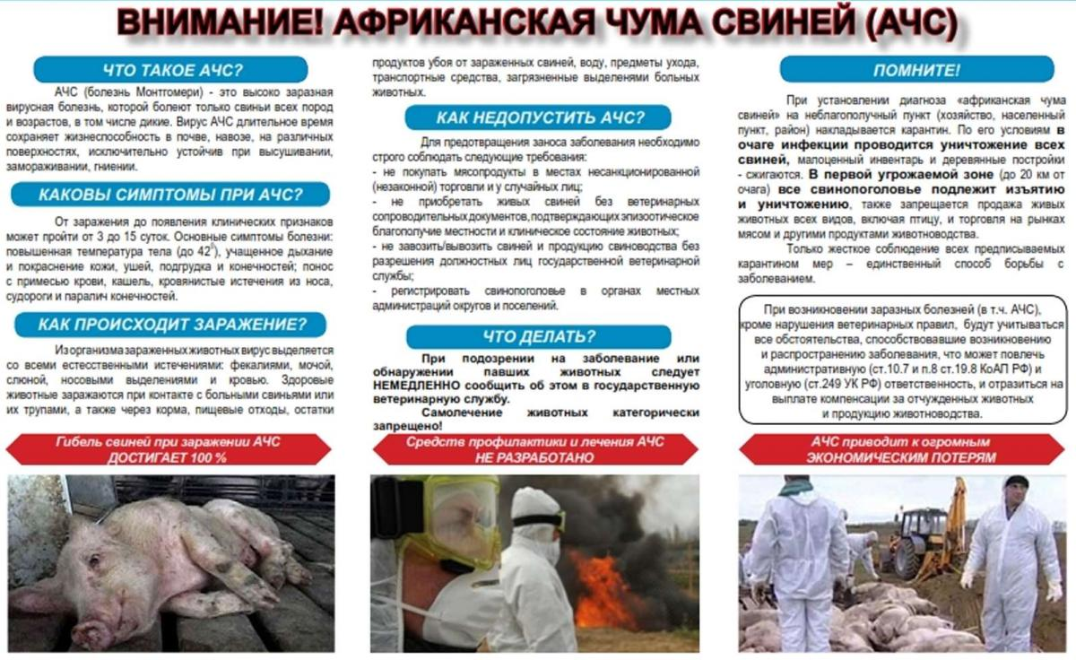 Африканская чума свиней: симптомы, признаки