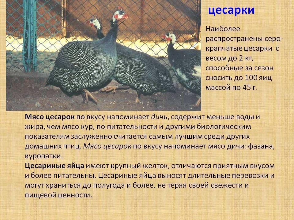 Сколько дней высиживают яйца цесарки - oozoo.ru