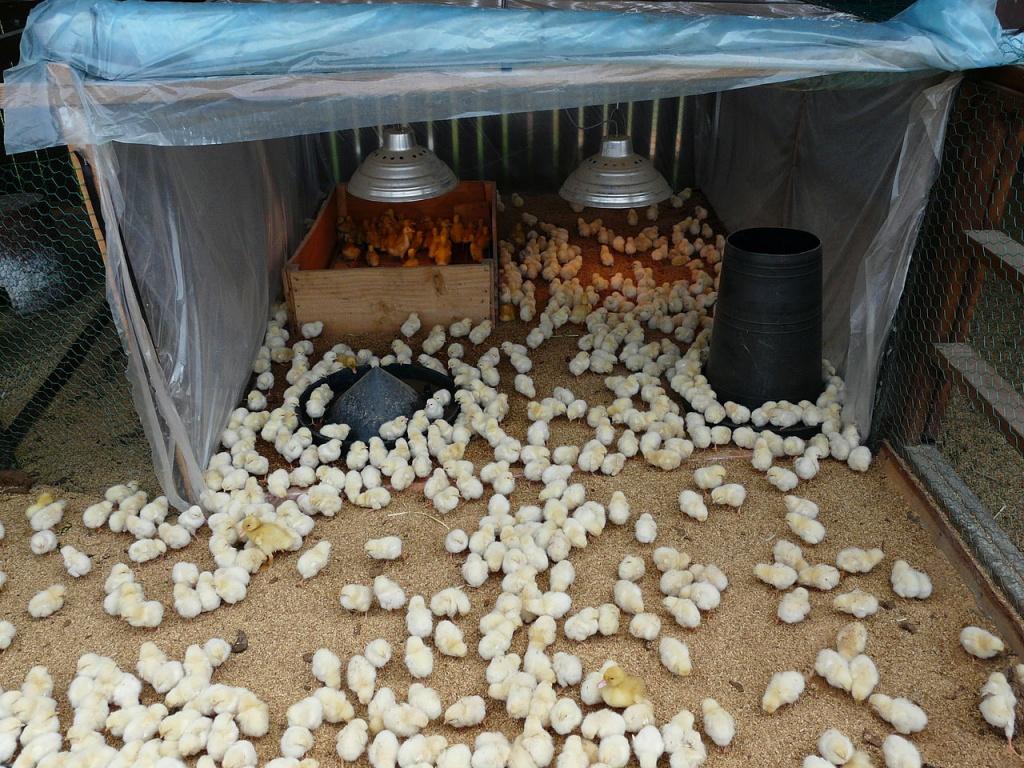 Разведение кур в домашних условиях для начинающих: советы по выращиванию, обустройству птичника, кормлению, содержанию и уходу, диагностика и лечение болезней