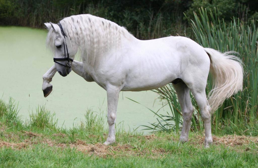 Испанский чистокровный конь: история, экстерьер и особенности выведение андалузской породы лошадей