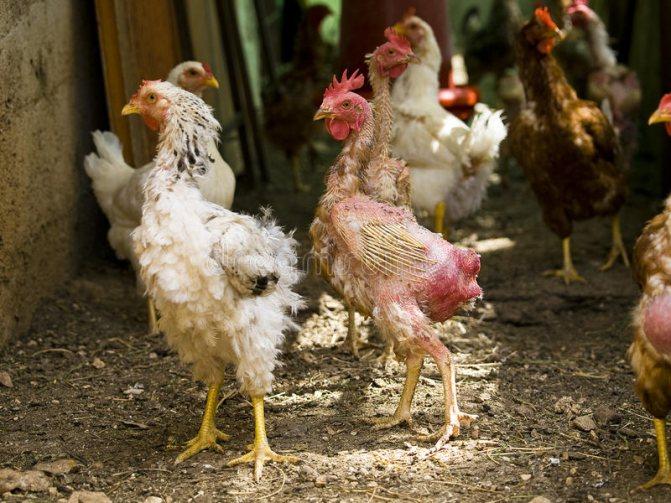 Почему цыплята клюют друг друга до крови — обзор причин и что делать?