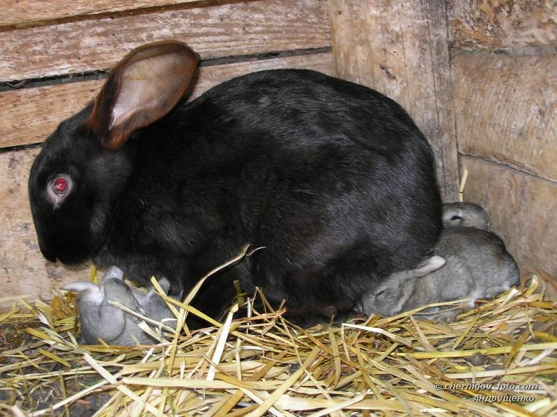 Сколько крольчиха кормит крольчат: до какого возраста и как