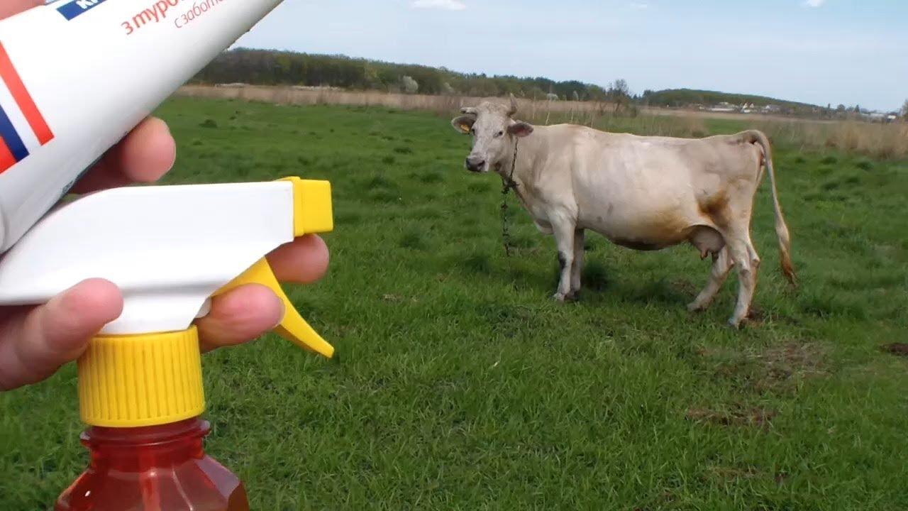 ✅ о болезнях коров (абсцесс, шишка на шее или челюсти): что делать, чем лечить - tehnomir32.ru