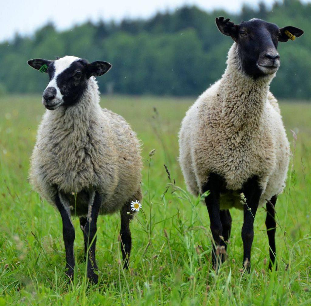 Разведение романовских овец, плюсы и минусы породы