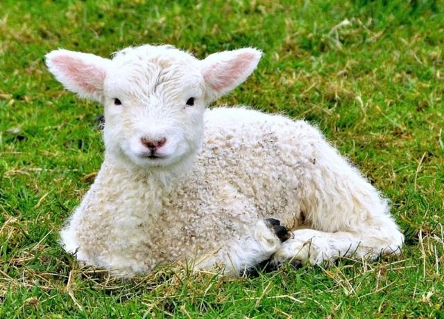 Детеныш у овцы: уход и правила кормления