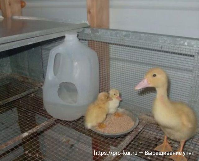 Разведение пекинских уток для начинающих птицеводов: выращивания утят в домашних условиях