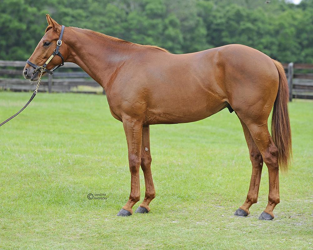 Чистокровная английская лошадь – идеальный скакун