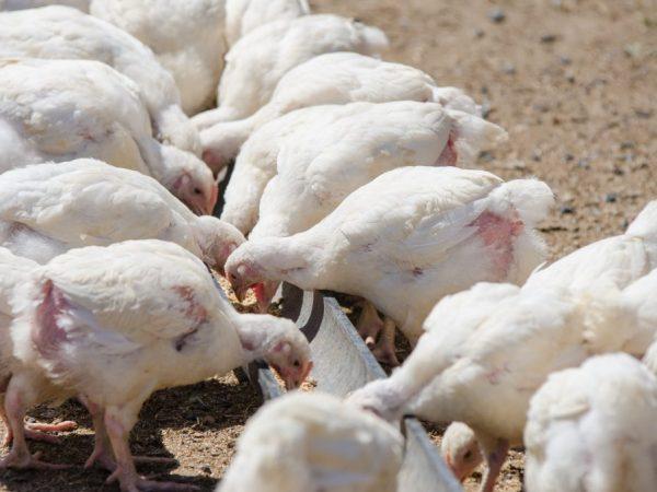 Скрещивание кур разных пород в домашних условиях. правила скрещивания кур разных пород и возможные ошибки