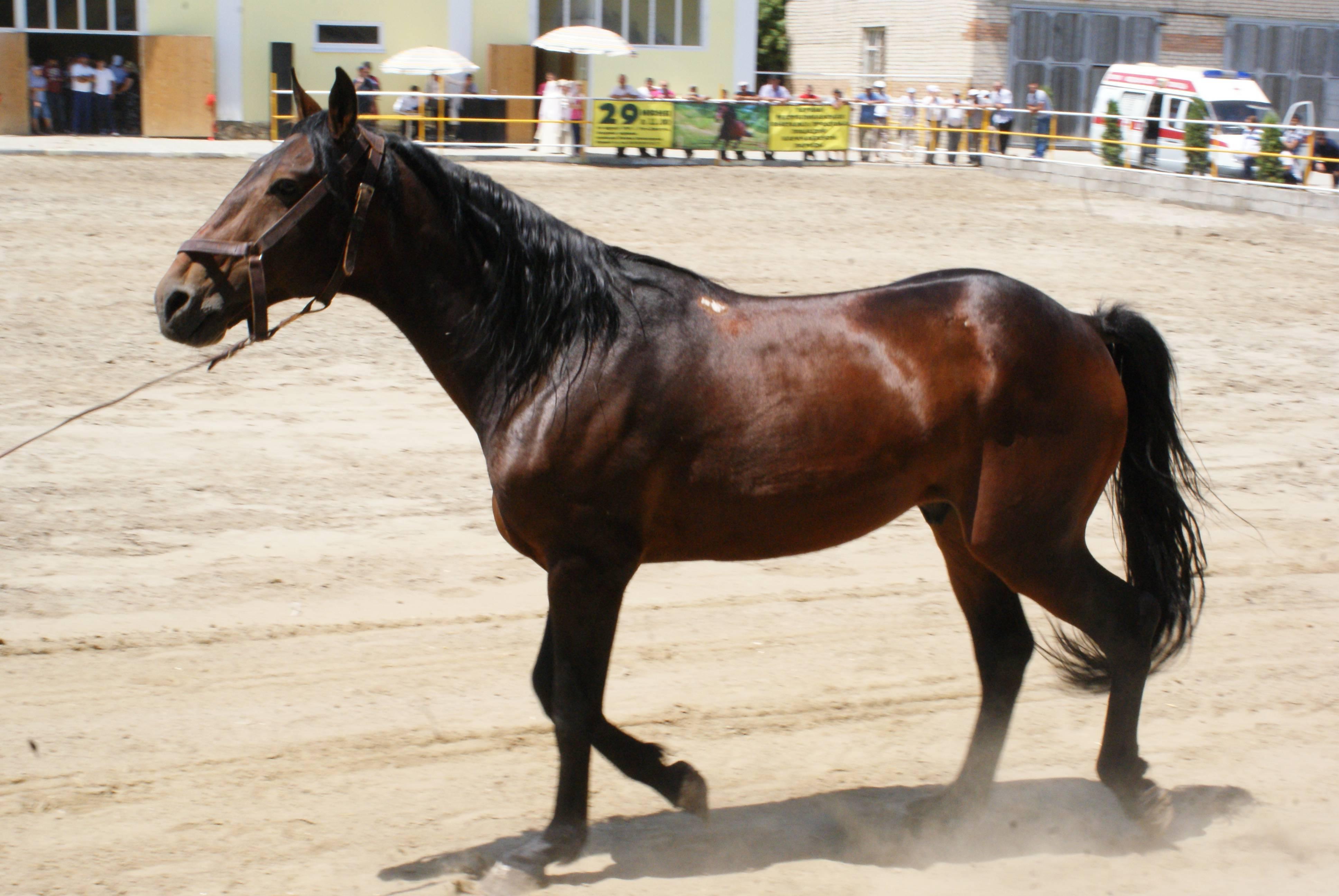 Карачаевская порода лошадей: фото и видео