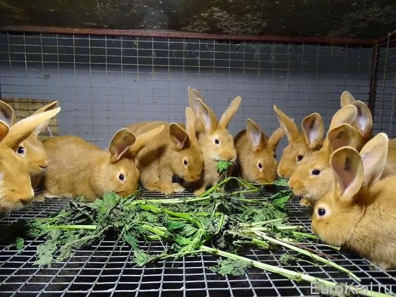 Можно ли кормить кроликов пшеницей: в каком виде и каких количествах