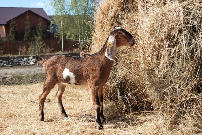 Козы ламанча – описание и характеристика короткоухой породы