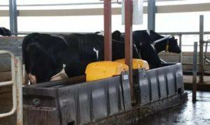 Как сделать поилки для коров своими руками