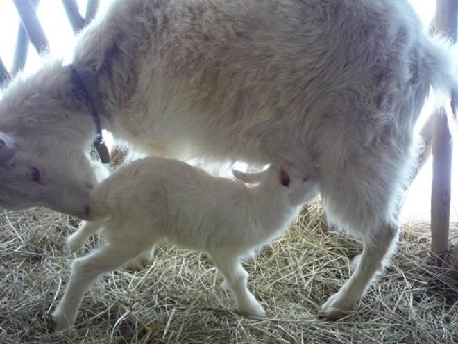 Козы (63 фото): особенности козоводства в домашних условиях. правила содержания и разведения животных. как ухаживать за выменем?