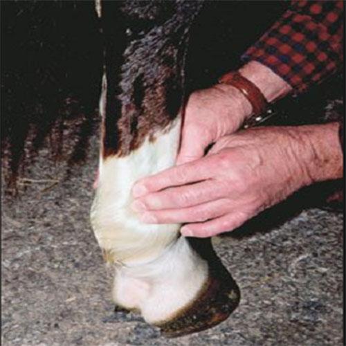 Как лечить болезни копыт у коров (хромота и прочие признаки заболеваний)