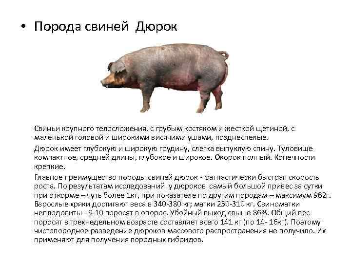 Порода свиней дюрок (36 фото): характеристика поросят, описание взрослых свиней мясной породы. особенности разведения. отзывы владельцев