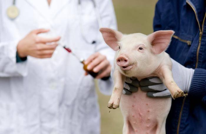 Как распознавать и лечить рожу у свиней: важная информация – клуб любителей хрюш