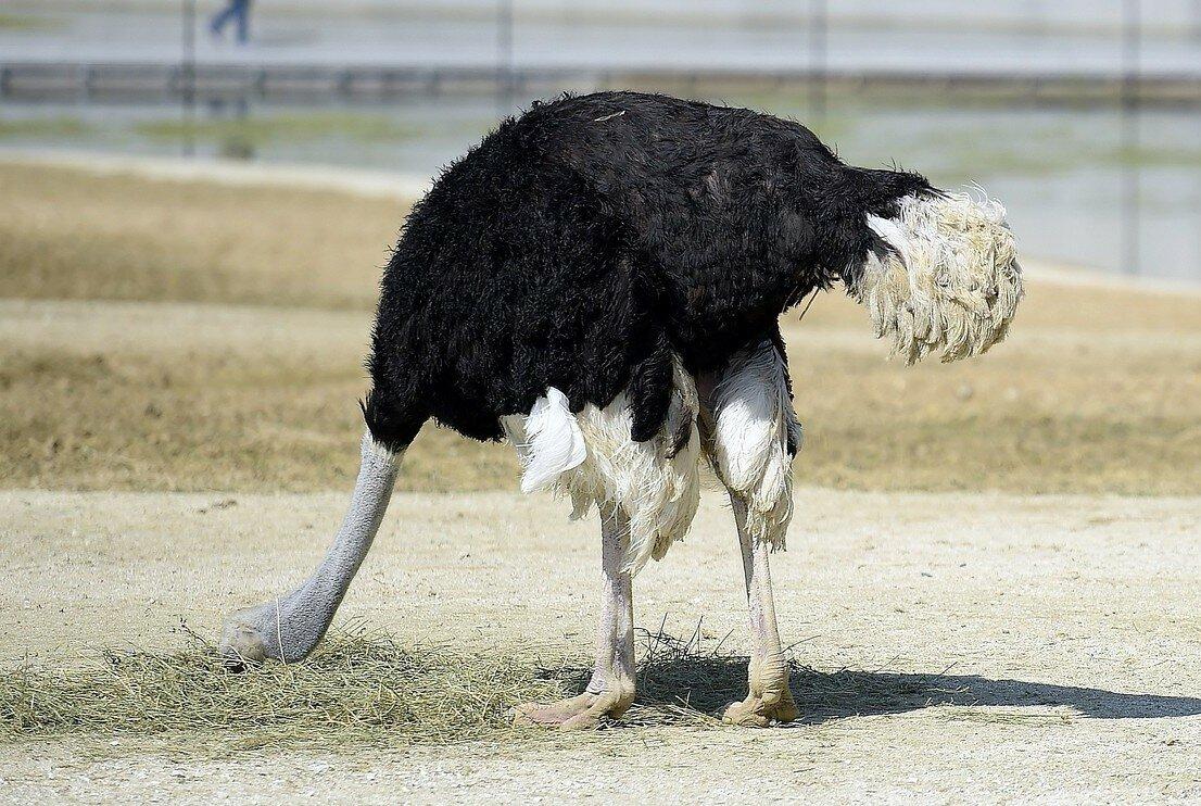 На чем основаны мифы о том, почему страус прячет голову в песок