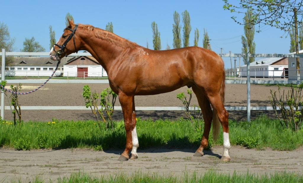 Характеристика буденовской породы лошадей