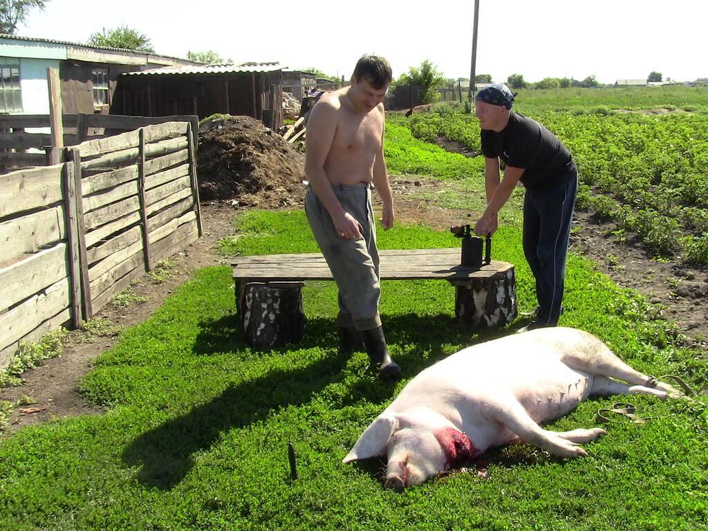 Режем свинью: когда и как правильно забивать свинью (120 фото)
