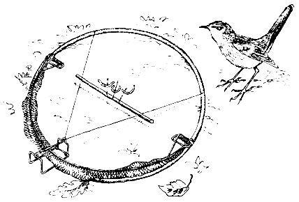 Как поймать фазана: использование способов ловли, изготовление петель и ловушек своими руками
