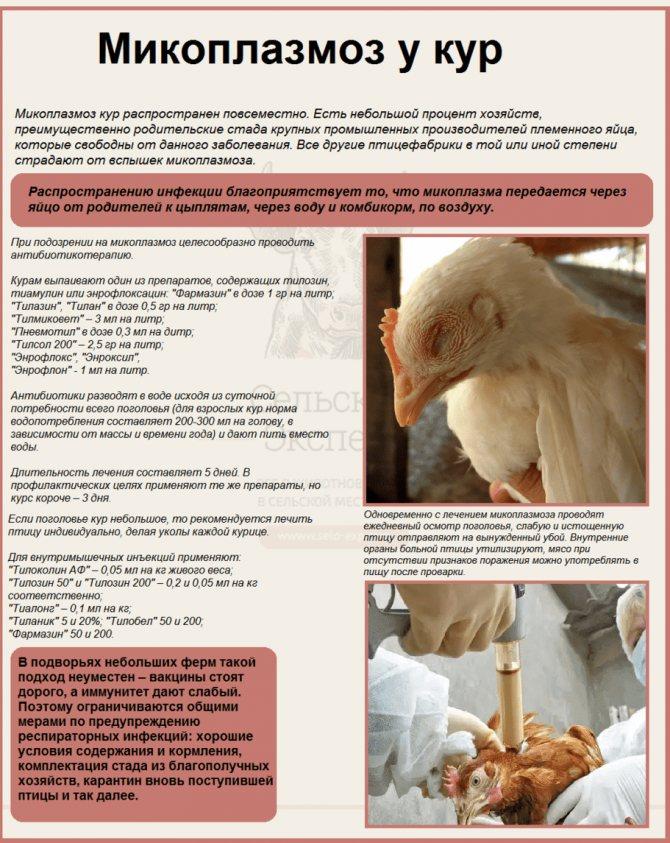 Пастереллез у кур. симптомы и правильное лечение с видео
