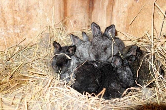 Крольчиха не кормит крольчат: что делать, как разбудить инстинкт