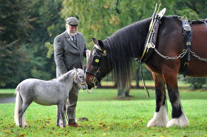 Лошади шайр: описание и характеристики. породы лошадей